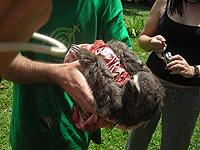 Three-toed sloth-happy to be released!