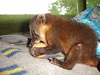 Young coati biting off more than he can chew!