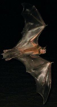 Bat over creek