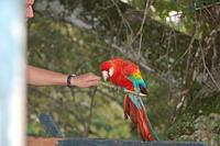 Scarlet Macaw awaiting release from canopy