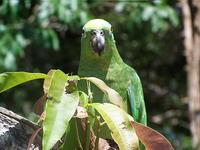 Yellow-Crowned Parrot after release