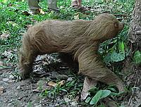 2-toed sloth