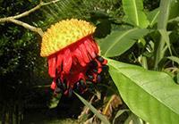 Tabernamontana aff. vanheurckii (Apocynaceae)