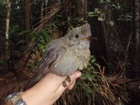 Screaming Piha (juvenile)