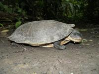 Amazon Toad-headed Turtle