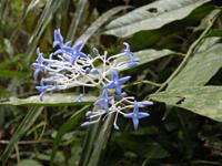 Faramea sp. (Rubiaceae)