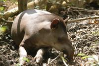 Tapir taking a nap!