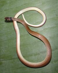 Tantilla melanocephala