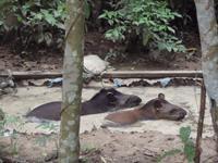 Tapirs Enjoying Their Old Pool!
