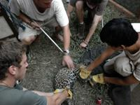 Treating the Young Jaguar on Arrival