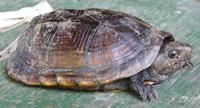 Amazonian Mud Turtle