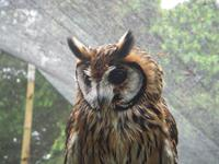 Striped Owl in Aviary