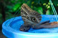 Owl Butterfly Feeding.