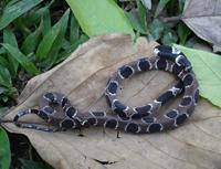 Ornate Snail-eating Snake