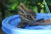 Newly hatched Owl Butterfly