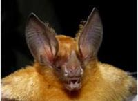 Yellow throated bat