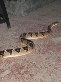 Unwlecome visitor- Bushmaster snake