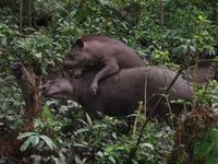 Brazilian Tapirs