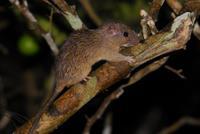 Spiny Tree Rat