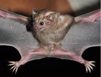 White-Winged Vampire Bat