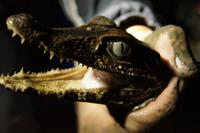 Spectacular dwarf caiman