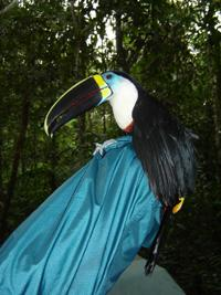 Channel-billed Toucan from Mist Netting