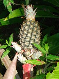 Pineapple Producing New Bulbs
