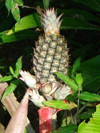 Pineapple Producing New Bulbs