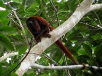 Red Howler Monkey from Mammal Census