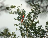 Scarlet Macaw Visiting the Centre