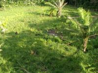 Grassy area when maintained by our goats and donkeys