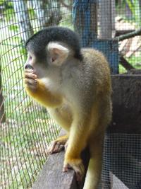 New squirrel monkey checks out its new home!