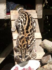 Young Margay