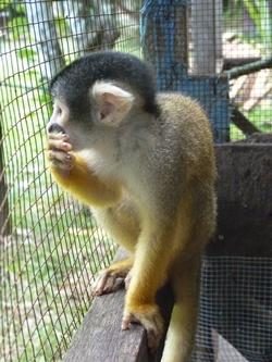 Squirrel Monkey's Last Day in Captivity