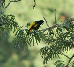 Noisy cacique sings from the canopy