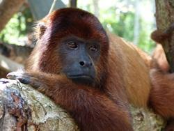 Howler monkey happy in new enclosure