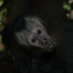 Brown Capuchin Awaiting Release