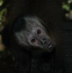 Brown Capuchin Awaiting Release