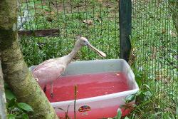 Pinky- the Roseatte Spoonbill