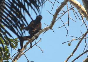 Wild baby spider monkey