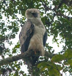 Hungry-looking Harpy Eagle!