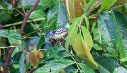 Pygmy Antwren