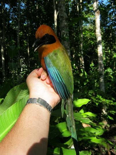 Beautiful Rufous Motmot