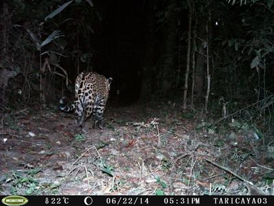 Wild jaguar on sensor camera