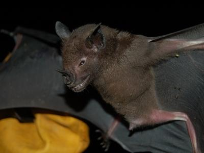 Insect eating bat captured in mist net