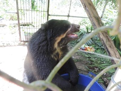 Male spectacled bear