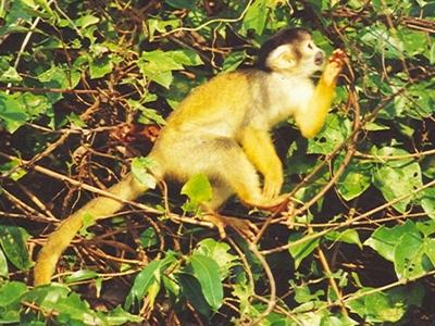 Squirrel monkey feeding on fruits