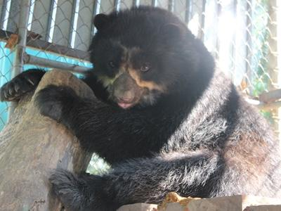 Spectacled bear playing in its new home