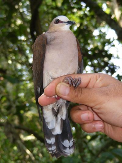 Violaceous Quail-dove caught in mist nets as part of biodiversity research