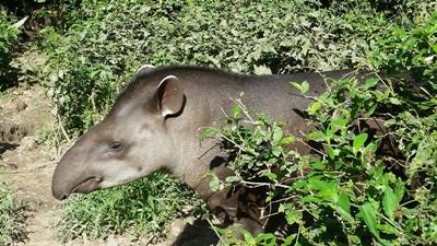 Resident tapir at taricaya